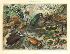 Käfer I, Meyers grosses Konversations-Lexikon 6. Auflage 1905-09 #old #print