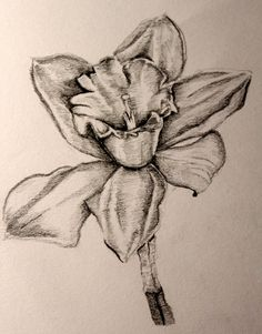 daffodil sketch - Google Search