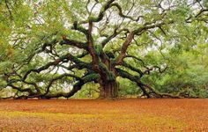 1400 year old tree in South Carolina