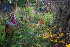 A late July show at the Emma Bridgewater Studios garden. Cottage garden perennials rudbeckia and echinops combine with golden oats grass and rockets of gladioli 'Plum Tart' and 'Magma'.