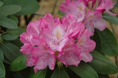 English Roseum Rhododendron (Rhododendron catawbiense 'English Roseum') at Connon Nurseries CBV