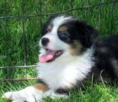 Dogs for Sale Mini Australian Shepherd love American Shepherd, Aussie Shepherd, Mini Australian Shepherds, Australian Shepherd Puppies, Pets, Pet Dogs, Dog Cat, Pretty Animals, Cute Baby Animals