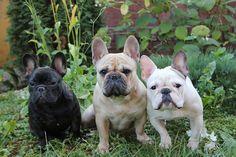 franzapsische bulldoggen liebe meines lebens