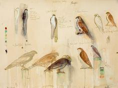 Jane Rosen - Drawings - Bird Studies