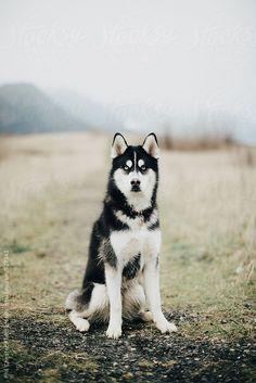 Blue Eyed Husky Dog Sits In Misty Foggy Field