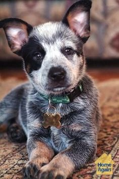 This cutie looks like it's in a costume! American cattle dog!
