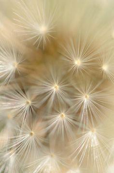 Dandelion by Leïla Dalha on 500px