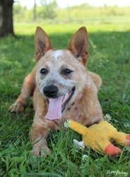 Sassy is an adoptable Cattle Dog Dog in Front Royal, VA. Sassy is a female Cattle dog who was found as a stray. This poor puppy had an imbedded shock collar which left two puncture wounds in her neck....