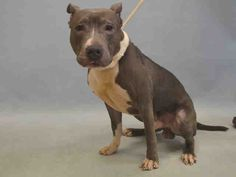 TO BE DESTROYED. 7/03/16....Manhattan center FETTY – A1079148 MALE, GRAY / WHITE, AM PIT BULL TER MIX, 1 yr OWNER SUR – EVALUATE, NO HOLD Reason NO TIME Intake condition EXAM REQ Intake Date 06/28/2016, From NY 10454, DueOut Date 06/28/2016