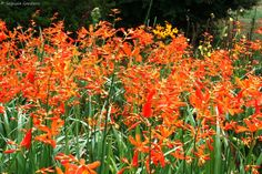 Crocosmia aurea - falling stars  Frost: moderately hardy  Deciduous  Flowers in summer  Shade  Moist conditions