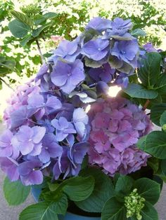 Love the old-fashioned look of hydrangeas