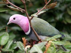 Pink Headed Fruit Dove