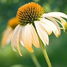 Harvest Moon The warm gold flowers of this variety help it stand out in the garden, as do its bold, droopy petals. Its a solid performer for us that produces lots and lots of blooms. Name: Echinacea Matthew Saul Large Flowers, Cut Flowers, Yellow Flowers, Wild Flowers, Beautiful Flowers, Succulent Seeds, Succulents, Big Plants, Orange Roses