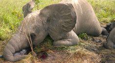URGENT: China must stop the massacre of elephants!