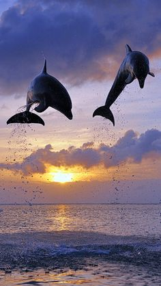 Dolphins Jumps, Honduras | Amazing Pictures -