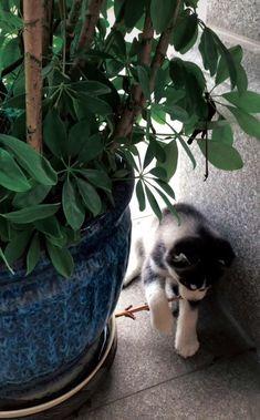 My Husky, Planter Pots