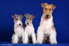 Wire Fox Terriers. Aren't they cute!?