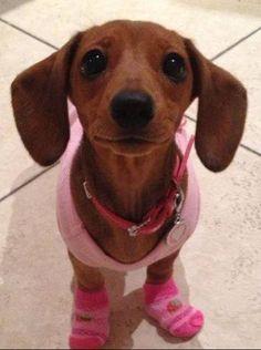 Pink Lady ~ via I Love Dachshunds