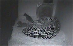 In what is a rare occurrence for zoos in general and an even rarer occurrence for the Woodland Park Zoo in particular, a 7-year-old jaguar gave birth to triplets Friday.
