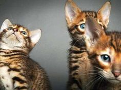 New Cat Breed Might Eat You, But So Cute! #pets trendhunter.com