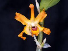 Dendrobium fanjingshanense - Flickr - Photo Sharing!