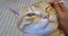 耳かきをしてもらう猫の表情が気持ち良さそうで癒される*