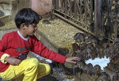 Putting faith in his furry friends: A child watches a group of rats drinking milk in the r...