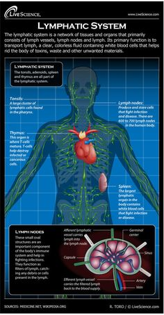 The lymphatic system helps keep the body healthy by eliminating infections and diseases.