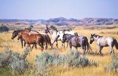 Band of wild horses