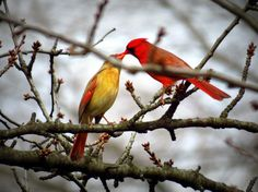 Male and Female Cardinal by Patti Hobbs, Toronto - Shot March 27, 2013
