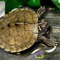 Aquatic turtles for sale online cheap, buy baby aquatic turtles, water turtle breeders near me live turtles for sale and baby freshwater turtle store. Baby Turtles For Sale, Baby Sea Turtles, Cute Turtles, Map Turtle, Turtle Pond, Baby Tortoise For Sale, Baby Mapping, Turtle Store, Freshwater Turtles