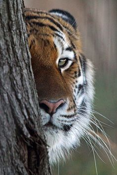THE TIGER SECOND ONLY TO DOGS AS MY FAVORITE ANIMAL-GOD'S CREATION IS SO STUNNING!
