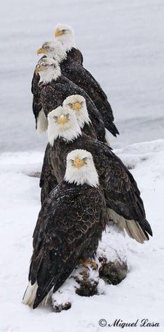 Alaska Bald Eagles