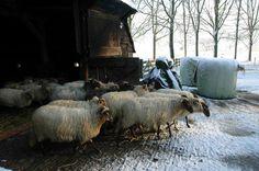 De kudde gaat los.  Ruinen winter 2016.