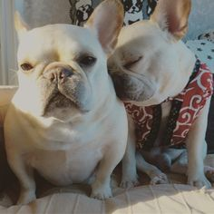 Things I adore about the Adaptable French Bulldog Dogs White French Bulldog Puppies, French Bulldogs, English Bulldogs, Cute Puppies, Dogs And Puppies, Doggies, Every Dog Breed, Bulldog Pics, Dog Rules