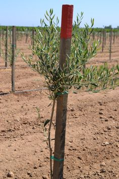 Mission Olive Tree hardy in zone 7 and grow well in the ...