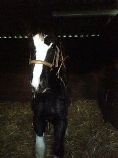 First 2013 foal delivered to new home, Worsenden Nuzzle