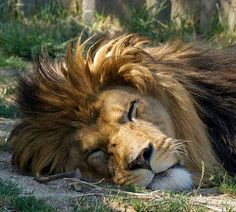 'in the jungle the mighty jungle the lion sleeps tonight' Beautiful Creatures, Animals Beautiful, Cute Animals, The Mighty Jungle, Sleeping Lion, Sleeping Beauty, The Lion Sleeps Tonight, Gato Grande, Lion And Lioness