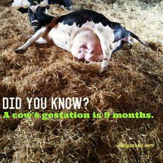 Cow Facts, Dairy Cattle, Urban Farming, Did You Know, Ffa, Cows, Agriculture, Animals, Ideas