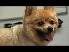 Grooming Guide - Pomeranian Pet/Clipped Trim - Pro Groomer - YouTube