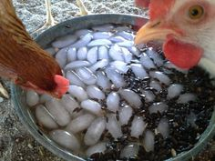 To encourage your chickens to drink in hot weather fill a dish with ice water and dump in black oil sunflower seeds. They drink as they go for the seed.