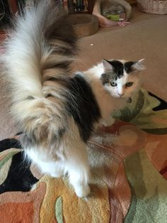 Meet Cleo, an adoptable Maine Coon looking for a forever home. If you're looking for a new pet to adopt or want information on how to get involved with adoptable pets, Petfinder.com is a great resource.
