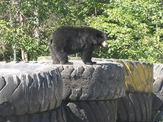 The Local Bear.. Lake Herridge Lodge & Resort