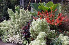 GardenLady.com   I Love Basil 'Pesto Perpetuo'