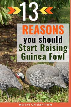 13 reasons why you need guinea fowl on your farm or homestead. Guineas are excellent tick and bug control, predator alert or can even be used as an alarm on the homestead! Guinea fowl can live in their own coop or with chickens or other fowl. Backyard Poultry, Backyard Farming, Chickens Backyard, Pet Chickens, Raising Chickens, Types Of Poultry, Egg Incubator, Guinea Fowl, Bug Control