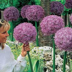 Beau Regard Allium (giant allium aka Truffula flowers so named by Dr Seuss) Flower seeds