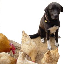 How to Train a Dog to Protect Chickens - We have a chicken whisperer dog.