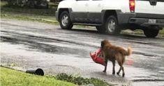 Cachorro carregando saco de ração após o furacão viraliza nas redes sociais