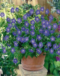 Geranium Vivace Rozanne //  soleil/mi-ombre, de mai à novembre, très rustique, tous types de sols