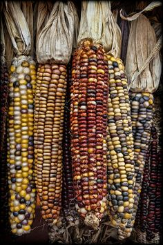 Zea mays indurata, commonly known as 'Indian corn' or flint corn. Rainbow Corn, Flint Corn, Glass Gem Corn, Popcorn Seeds, Hot Apple Cider, Fall Pictures, Sweet Corn, Antique Stores, Fall Harvest